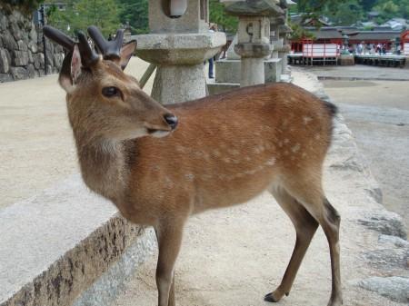 Ciervo en Itsuku